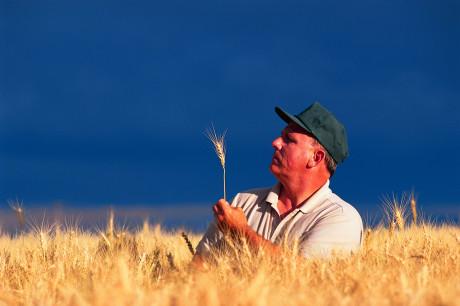 Farmer Inspecting Wheat