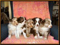 Aussie_puppies