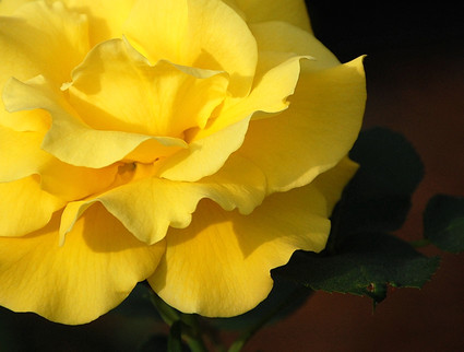 A_yellow_rose_close_up