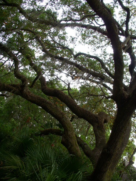 Live_oaks_with_spanish_moss
