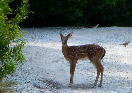 Fawn_with_spots_at_kiawah