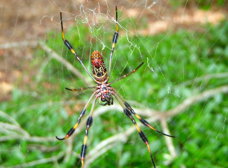 Kiawah_spotted_spided