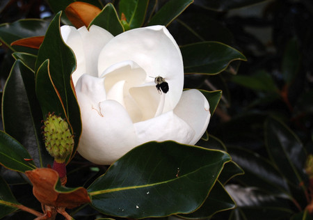Magnolia_and_bee