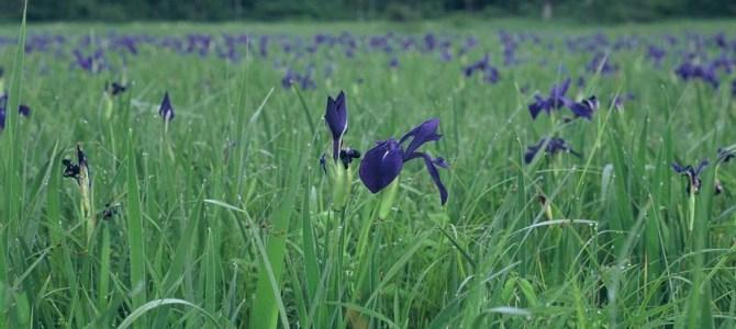 尾瀬の花:カキツバタ〜凛とした気品あふれる花