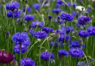 albastreele