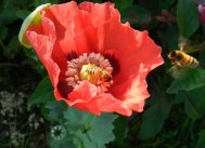Bees+on+poppy