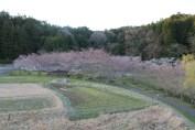 上総亀山 cherry blossom park 2