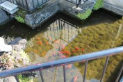 The shrine even had a pond with Koi.