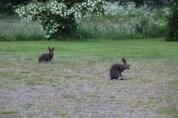 Rabbits on grass