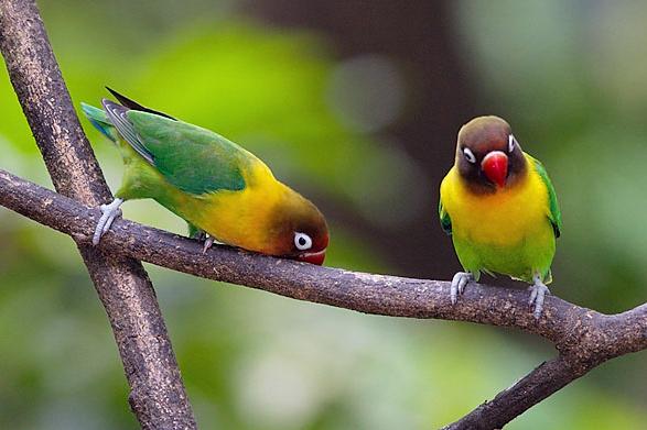 info-wirausaha-lovebird