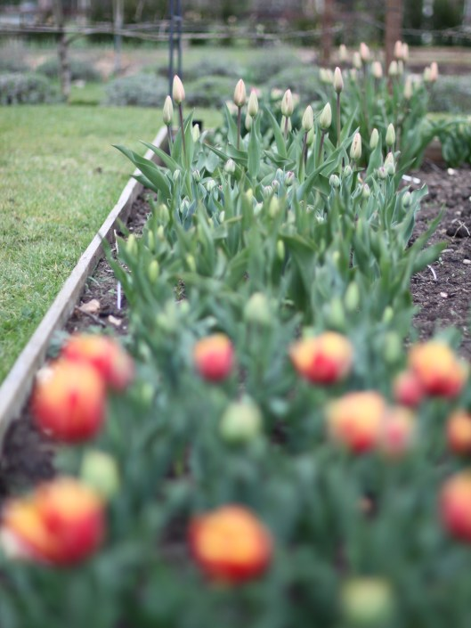 Cutting Garden Tulips