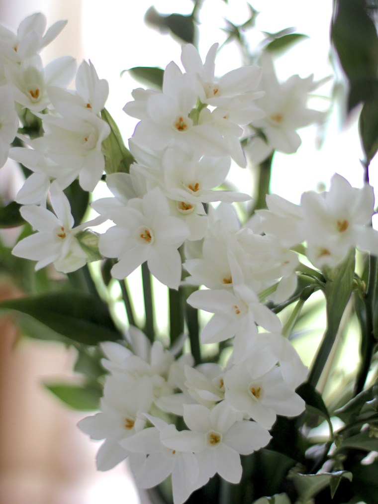 Scented-Paperwhites
