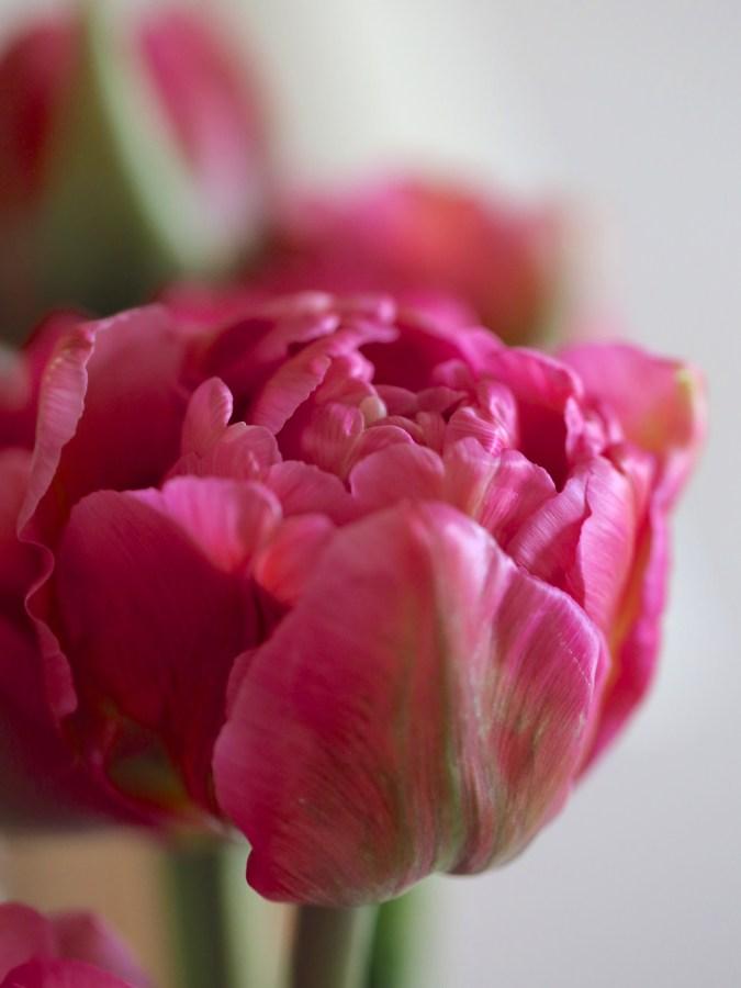 Tulip-Chato