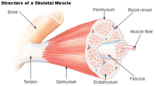 https://i1.wp.com/people.eku.edu/ritchisong/301images/muscle_structure.jpg