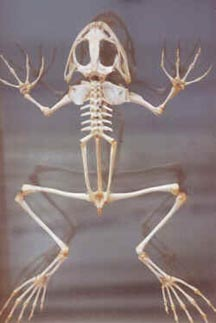 Comparative Vertebrate Anatomy  Lecture Notes 5