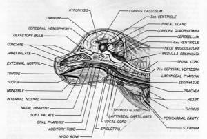 Endocrine Anatomy