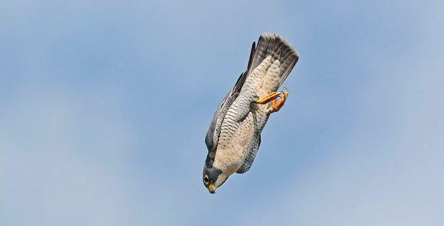 Το ταχύτερο πουλί του κόσμου