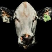 Βραζιλία: Προσπάθεια δημιουργίας γενετικώς τροποποιημένων βοοειδών