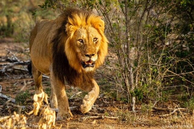 Residents-lock-up-as-lion-escapes-from-Kano-Zoo