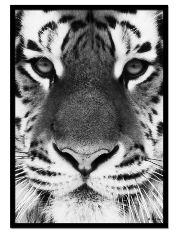 Tiger poster | Black and white poster of a tiger face.
