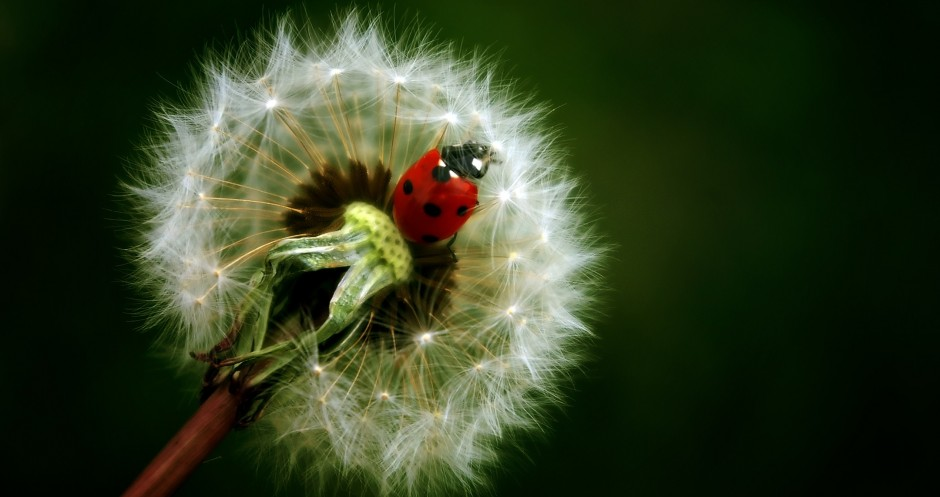 https://i1.wp.com/peoplesagreement.org/wp-content/uploads/2013/04/Ladybird-on-dendelion1-940x497.jpg