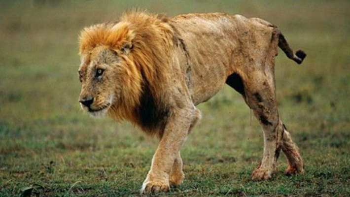 A photo of a sick lion used to illustrate this story