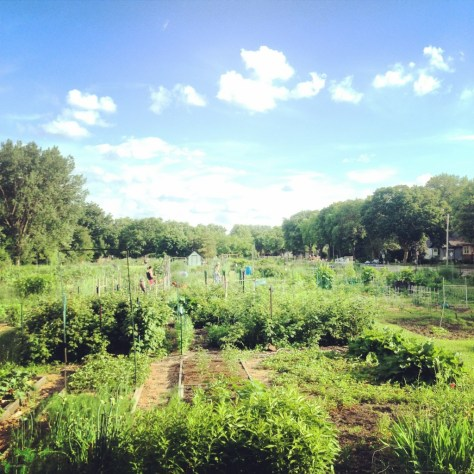 Less an urban garden than an entire urban community farm in MPLS.