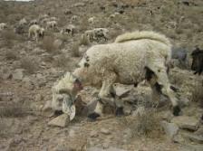 Balochi Sheep Breed