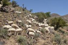 Maghdozai belt of Musakhail with beautiful sheep culture