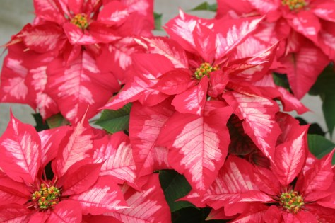 (Euphorbia pulcherrima),