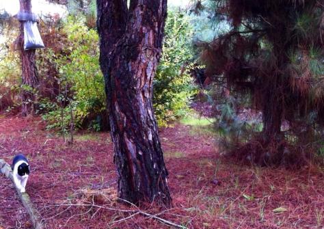 Pinus halepensis, pinus pinea y la procesionaría del pino