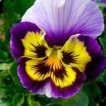 Pensamientos, plantas de invierno; flores exterior resistentes al frío