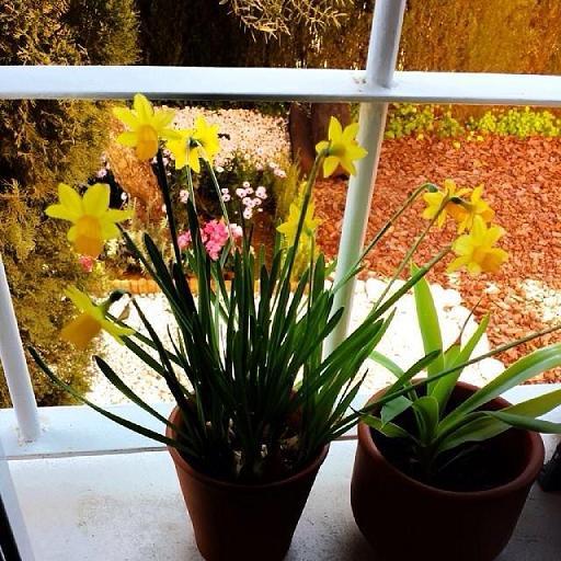 Florecen los Narcisos