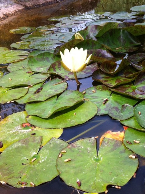 Los nenúfares efectúan una lucha activa y efectiva contra las algas