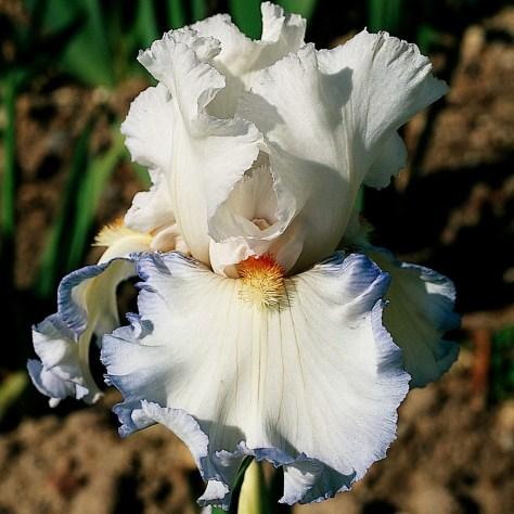 Iris, las mejores flores del mundo