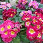 Prímula la flor el estandarte de la primavera