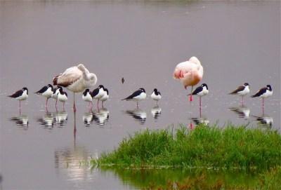 Flamingoes_Chilean&Stilt_Blk-back