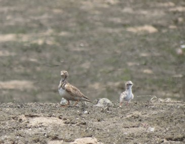Lachay.Seedsnipe_least female&chick