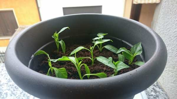 Quando seminare i peperoncini in vaso e terra da semina