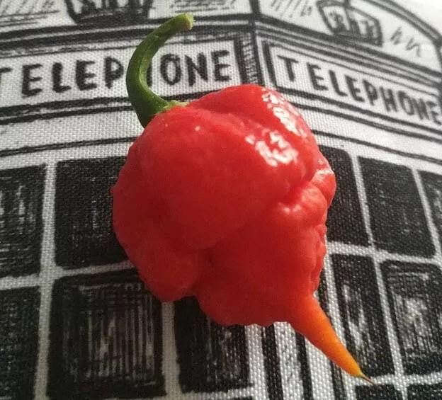 carolina reaper peperoncino piccante rosso