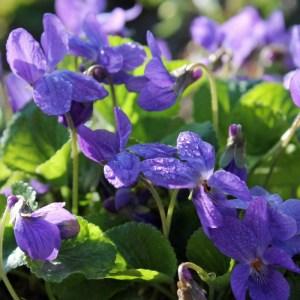 Violette // Ororante (Plant)