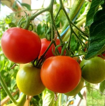 Tomate // Glacier (à grapes)