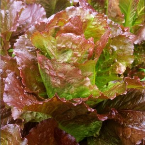 Laitue // Romaine rouge Outstanding (Graines)