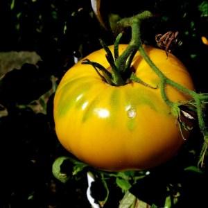 Tomate // Saint Vincent (Graines)