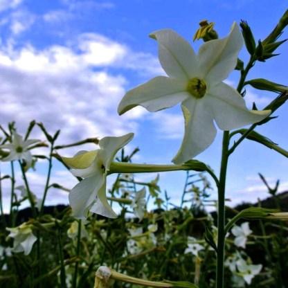 Tabac // A fleurs de jasmin