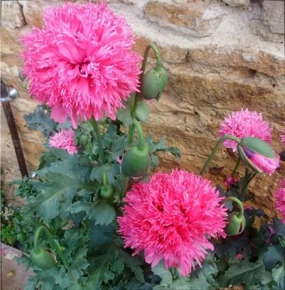 Pavot // Rose à fleurs doubles