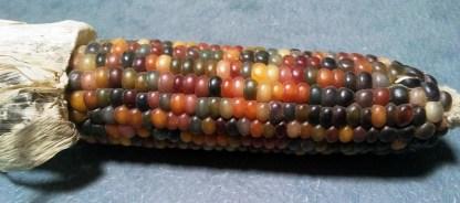 Maïs // Pop-corn à grains multicolores
