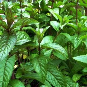 Menthe // 'Chocolat' (Plant)