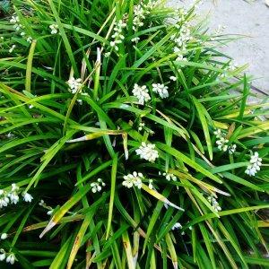 Ophiopogon // Du Japon (Plant)