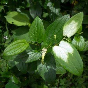 Saururus // Queue de Lézard de Chine 'San Bai Cao' (Plant)